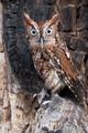 Screech Owl - PhotoDune Item for Sale