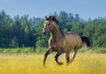 Andalusian horse in summer blooming field. - PhotoDune Item for Sale