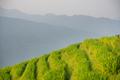 Rice growing on Longji Rice Terraces - PhotoDune Item for Sale
