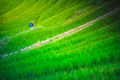 Spraying bug and weed killer chemical on ricefields - PhotoDune Item for Sale
