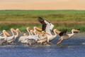 white pelicans (pelecanus onocrotalus) - PhotoDune Item for Sale