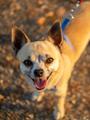 Chihuahua - PhotoDune Item for Sale