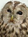 Tawny Owl - PhotoDune Item for Sale