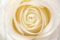 Beautiful fresh white rose - PhotoDune Item for Sale