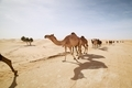 Herd of camels walking on sand road - PhotoDune Item for Sale