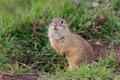 prairie dog in the grass - PhotoDune Item for Sale