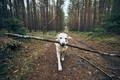 Labrador retriever carrying stick in mouth. - PhotoDune Item for Sale