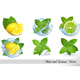 Mint and Melissa Leaves With Lemon and Lime in Splash of Water Vector Set - GraphicRiver Item for Sale