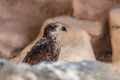bald eagle in Tenerife, Spain - PhotoDune Item for Sale
