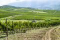 Vineyards on hill in a row. - PhotoDune Item for Sale