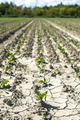 Sugar beet plantation in a row. - PhotoDune Item for Sale