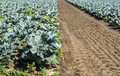 Cabbage farm. Organic spinach leaves on the field. - PhotoDune Item for Sale
