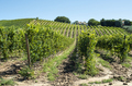 White grape vineyards in Italy. Italian winery. - PhotoDune Item for Sale