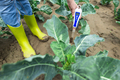 Woman use digital soil meter in the soil. Cabbage plants. Sunny day. - PhotoDune Item for Sale