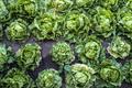 Lettuce iceberg farm. Background of many heads Lettuce iceberg - PhotoDune Item for Sale