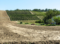 Vineyards in rows and Tilled ground soil. - PhotoDune Item for Sale