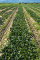 Spinach farm. Organic green vegetables on the field. - PhotoDune Item for Sale