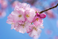 Beautiful pink cherry blossoms - PhotoDune Item for Sale