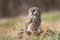 Ural Owl (Strix Uralensis) standing on a tree stump - PhotoDune Item for Sale