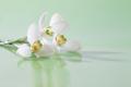Spring snowdrop flower. Soft focus. - PhotoDune Item for Sale