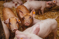 young pigs and piglets in barn livestock farm - PhotoDune Item for Sale
