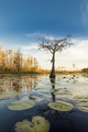 A cypress tree stands in a pond of lily pads, Nymphaeaceae sp. in the Okefenokee swamp. - PhotoDune Item for Sale
