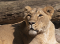 Portrait Lioness Basking In The Warm Sun After Dinner. - PhotoDune Item for Sale