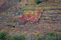 Small Vineyard of different Variety contrasts in color with the rest - PhotoDune Item for Sale