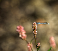 Macro photography of a blue dragonfly - PhotoDune Item for Sale