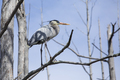 Great blue heron (ardea herodias) perched in a tree in the Okefenokee swamp of Georgia, USA. - PhotoDune Item for Sale