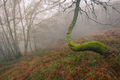 Winding Birch in a Misty Forest - PhotoDune Item for Sale