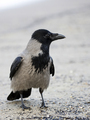 Hooded crow in the wild - PhotoDune Item for Sale