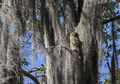Barred owl, (Strix Varia), in its natural habitat in the Okefenokee Swamp of Georgia, USA. - PhotoDune Item for Sale