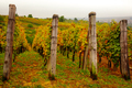 Landscape view of beautiful vintage vineyards with colorful foliage and wooden poles - PhotoDune Item for Sale
