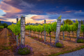 Landscape view of beautiful vintage vineyard during colorful sunset, New Zealand - PhotoDune Item for Sale