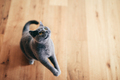 Cute British cat playing and having fun on the floor at home - PhotoDune Item for Sale