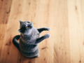 Funny British cat standing as if he was begging, asking. - PhotoDune Item for Sale