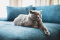 Happy British cat lying relaxed and sleepy on couch at home. - PhotoDune Item for Sale