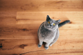 Funny British cat sitting and looking at the camera. - PhotoDune Item for Sale