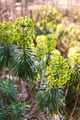 Euphorbia Characias - PhotoDune Item for Sale