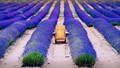 Landscape detail of colorful lavender field with wooden chair, relaxation concept, New Zealand - PhotoDune Item for Sale