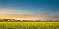 Yellow tulips in bloom, flowers field in spring at sunset. Holland or Netherlands. - PhotoDune Item for Sale