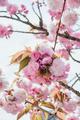 branch of blossom pink cherry or sakura in garden - PhotoDune Item for Sale
