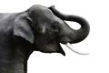 Isolated photo of  Elephant - PhotoDune Item for Sale