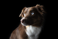 Beautiful Red Tri Aussie with Blue Eyes - PhotoDune Item for Sale
