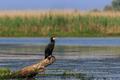 cormorant in a tree - PhotoDune Item for Sale