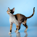Devon Rex on blue background - PhotoDune Item for Sale