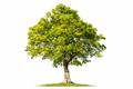 big tree isolated on white - PhotoDune Item for Sale
