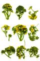 Broccoli flowers isolated - PhotoDune Item for Sale