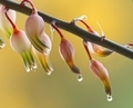 Dew droplets hanging from succulent pink flowers plant. - PhotoDune Item for Sale
